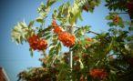 Жители Еревана посадили тысячи рябин и акаций