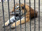 У одного из тигров ереванского зоопарка обнаружен лейкоз