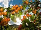 Правительство Армении поможет фермерам в разведении плодовых садов