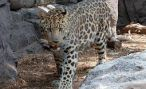Во Владивостоке заметили тигра и леопарда