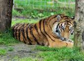 В ереванском зоопарке умер тигр Бинго