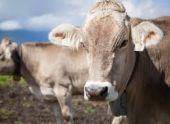 Житель Северной Осетии украл чужих коров