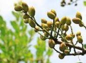 В Армении приживаются ореховые саженцы