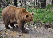 В армянском селе гулял медведь