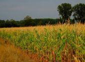 В Ардонском районе повреждено более 65% посевов кукурузы