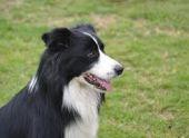 Умерла самая умная в мире собака