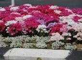 Вандал-романтик собрал букет из уличного кашпо во Владикавказе