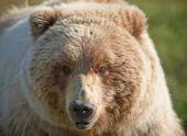 В Канаде турист смог отбиться от медведя гризли