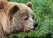 Случай нападения медведя в Армении дошел до МЧС