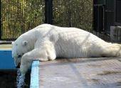 Посетительница Ленинградского зоопарка бросила в медведицу мороженое