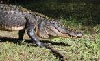 Житель Флориды спас свою собаку от напавшего аллигатора
