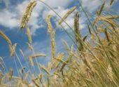 Ростовская область побила рекорд по уборке зерна