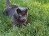 Домашние кошки унаследовали от предков склонность есть траву