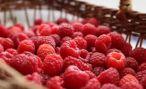 В Армении выращивают органические ягоды