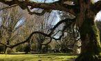 Старейшему дереву Северной Осетии исполнилось 247 лет