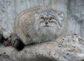 В Московском зоопарке от рака скончался манул