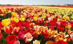 В Голландии уничтожили 140 млн. тюльпанов из-за коронавируса