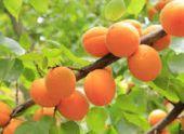 В Армении собирают урожай абрикосов