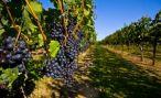 Правительство Армении поможет отечественным виноделам