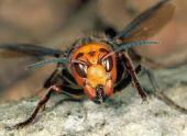 В США уничтожили первое гнездо гигантских шершней-убийц
