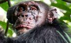 У диких шимпанзе впервые в истории обнаружена проказа